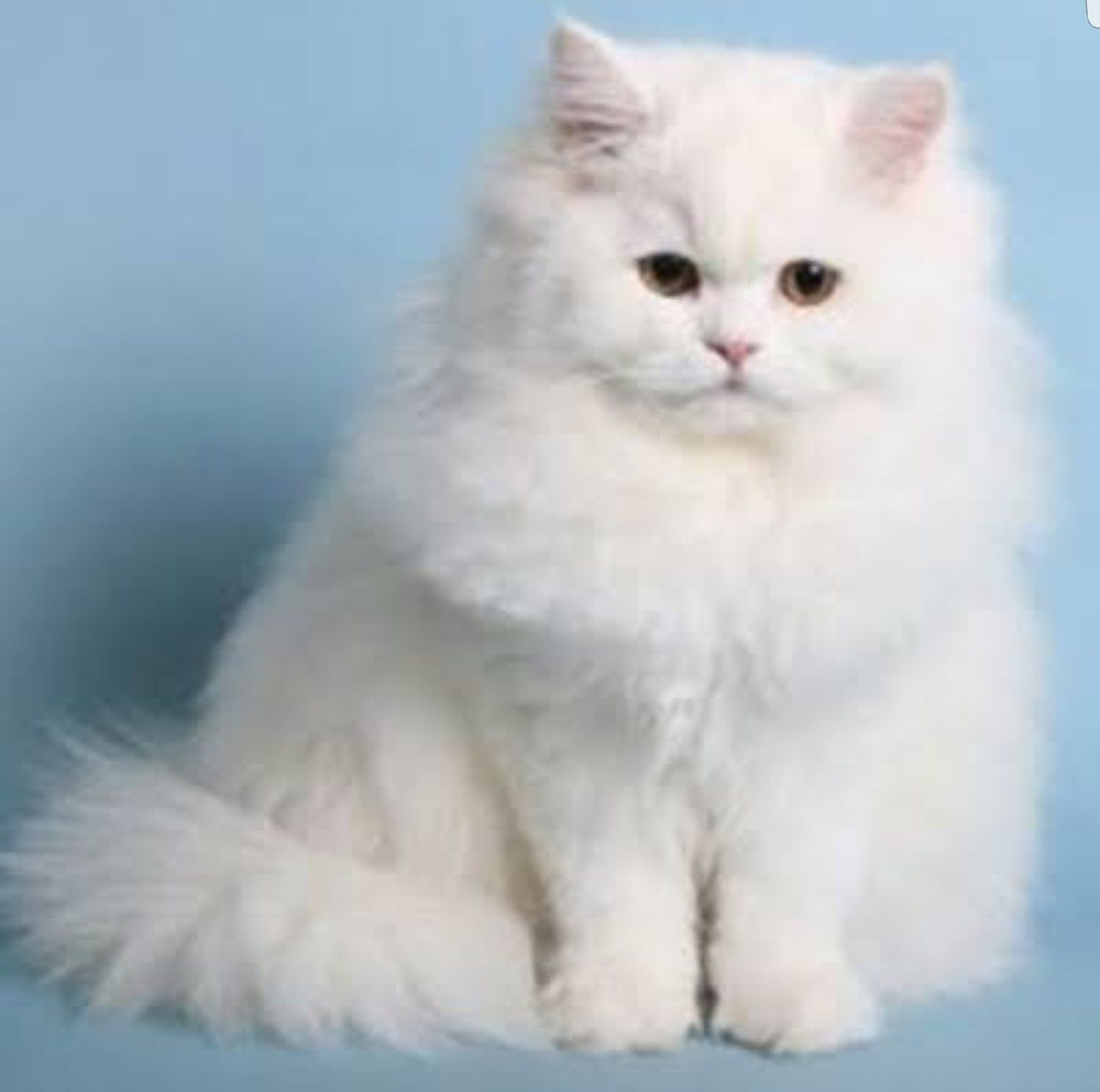 Persian Cat Price in India, Facts, Breed Information and Characteristics