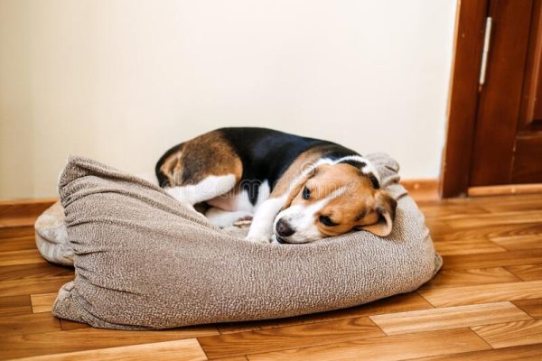 How to induce vomiting in a puppy at home